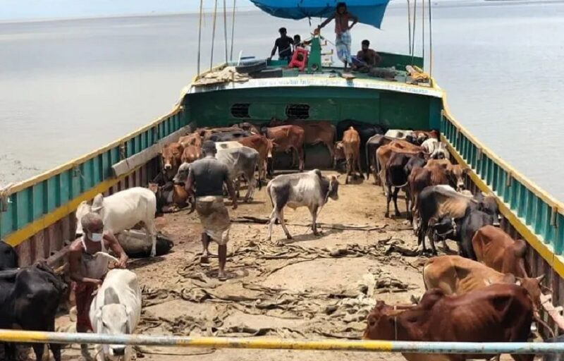 Rohingyas in Bangladesh provided 200 cows to sacrifice on Eid, express gratitude to govt